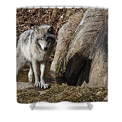 Shower Curtain featuring the photograph Timber Wolf In Pond by Wolves Only