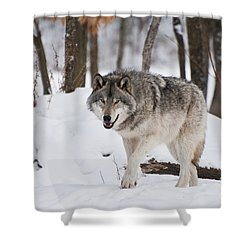 Shower Curtain featuring the photograph Timber Wolf In Winter Forest by Wolves Only