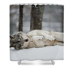 Timber Wolf In Winter Shower Curtain