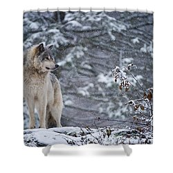 Timber Wolf Pictures 189 Shower Curtain