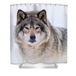 Timber Wolf Pictures 256 Shower Curtain