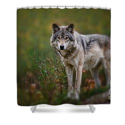 Timber Wolf Pictures 401 Shower Curtain