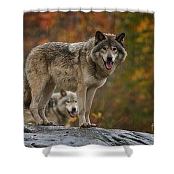 Timber Wolf Pictures 410 Shower Curtain