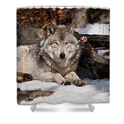 Timber Wolf Pictures 776 Shower Curtain by World Wildlife Photography