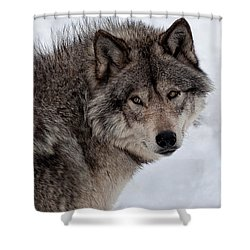 Shower Curtain featuring the photograph Timberwolf At Rest by Bianca Nadeau