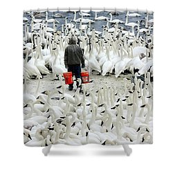 Trumpeter Swan Feeding Time Shower Curtain by Amanda Stadther