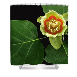 Tulip Bloom Shower Curtain by Don Spenner