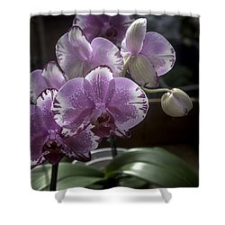 Variegated Fuscia And White Orchid Shower Curtain by Lynn Palmer