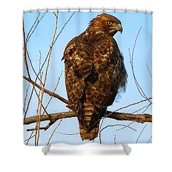 Vigilant Red-tailed Hawk  Shower Curtain