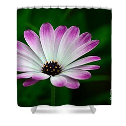 Violet And White Flower Petals With Yellow Stamens Blossoms  Shower Curtain by Imran Ahmed
