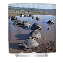 Volcan Alcedo Giant Tortoise Wallowing Shower Curtain by Tui De Roy