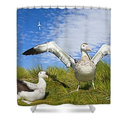 Wandering Albatross Courting  Shower Curtain