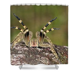 Wandering Spider In Defensive Posture Shower Curtain