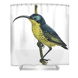 Wattled False Sunbird Shower Curtain by Anonymous