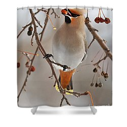 Waxing Eating Shower Curtain by Lloyd Alexander
