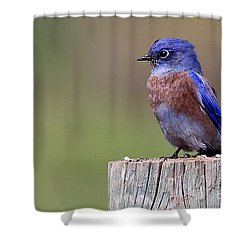 Western Bluebird Shower Curtain