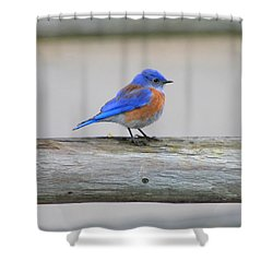 Western Bluebird Perching Shower Curtain by Bob and Jan Shriner