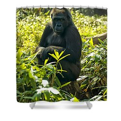 Western Lowland Gorilla Sitting On A Tree Stump Shower Curtain by Chris Flees