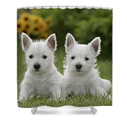 Westie Puppies Shower Curtain by Rolf Kopfle