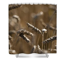 Wheat Shower Curtain by Anne Gilbert