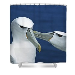 White-capped Albatrosses Courting Shower Curtain by Tui De Roy