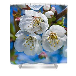 White Cherry Blossoms Blooming In The Springtime Shower Curtain