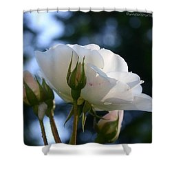 White Rose And Rosebuds In Anna's Gardens Shower Curtain