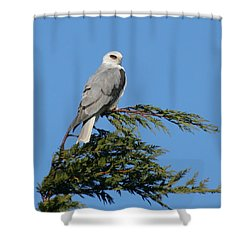 White-tailed Kite Perching Shower Curtain by Bob and Jan Shriner