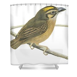 White Throated Spadebill Shower Curtain by Anonymous