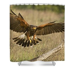 Wild Harris Hawk Landing Shower Curtain by Dave Welling