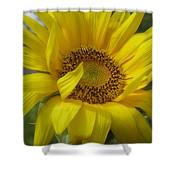 Windblown Sunflower Three Shower Curtain by Barbara McDevitt