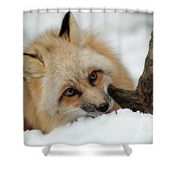 Winter Fox 2 Shower Curtain by Richard Bryce and Family