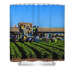 Winter Lettuce Harvest Shower Curtain by Robert Bales