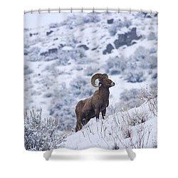 Winter Ram Shower Curtain by Mike  Dawson