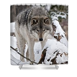 Shower Curtain featuring the photograph Winter Timber Wolf by Wolves Only