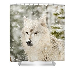Wolf In Snow Shower Curtain