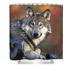 Shower Curtain featuring the photograph Wolf Predator Canidae Canis Lupus Hunter by Paul Fearn