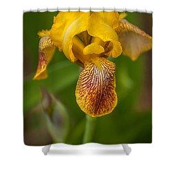 Yellow Bearded Iris Shower Curtain by Brenda Jacobs