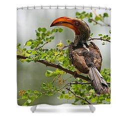 Yellow-billed Hornbill Shower Curtain by Bruce J Robinson