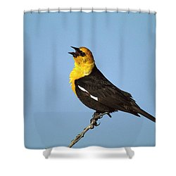 Yellow-headed Blackbird Singing Shower Curtain by Tom Vezo