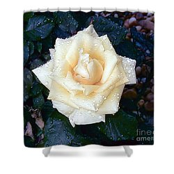 Shower Curtain featuring the photograph Yellow Rose At Dawn by Alys Caviness-Gober