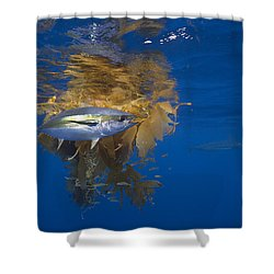 Shower Curtain featuring the photograph Yellowfin Tuna And Kelp Nine-mile Bank by Richard Herrmann
