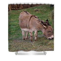 Young Donkey Eating Shower Curtain by Chris Flees