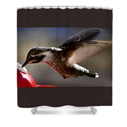 Shower Curtain featuring the photograph Young Hummingbird Male Anna by Jay Milo