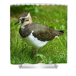 Young Lapwing Shower Curtain