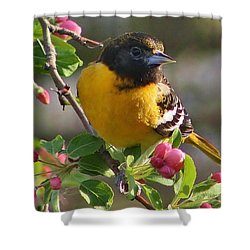 Young Male Oriole Shower Curtain