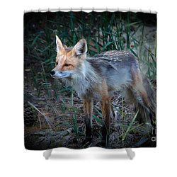 Young Red Fox Shower Curtain by Robert Bales