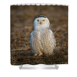 Young Snowy Owl Shower Curtain