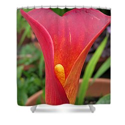 Shower Curtain featuring the photograph Zantedeschia Named Red Sox by J McCombie