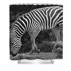 Shower Curtain featuring the photograph Zebra In Black And White by Kate Brown